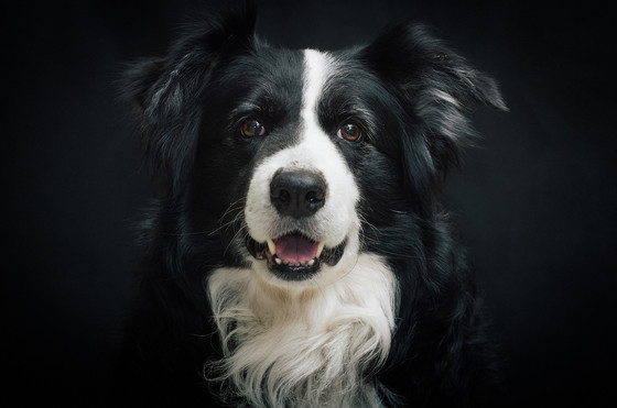 Chaser the Border Collie learned 1,000 words - could my dog learn that many words, too?