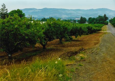 Peach Trees Along Pioneer Road (Summer 1996)