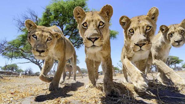 lions9