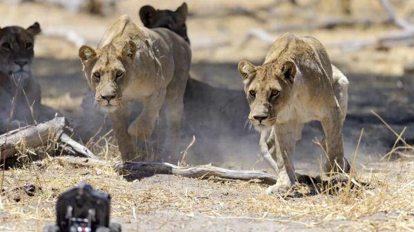 lions15
