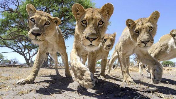lions8