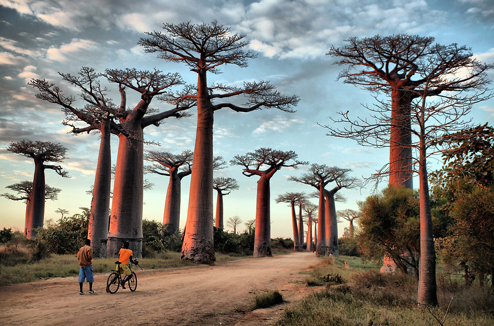 The Avenue of the Baobabs