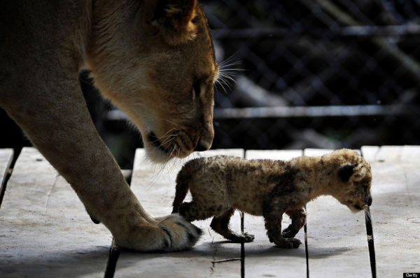 A lion cub walks next to its mother. Photo credit  LUIS ROBAYO/AFP/Getty Images)