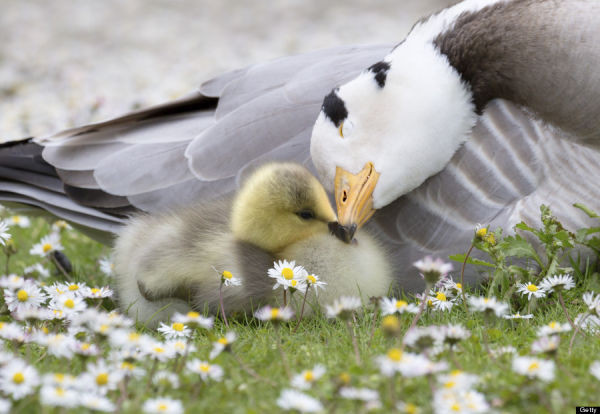 Bar-headed Goose with Chick ( Anser indicus )
