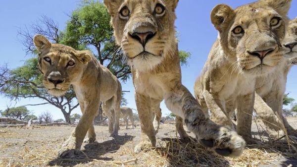 lions10