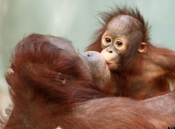 Orang-utan baby at Changi Zoo. (Photo credit ROLAND WEIHRAUCH/AFP/Getty Images)