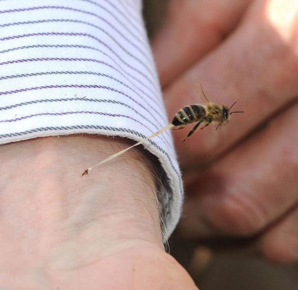 honeybee-death-final-sting-abdominal-tissue-trail-stinger-left-in-art-1