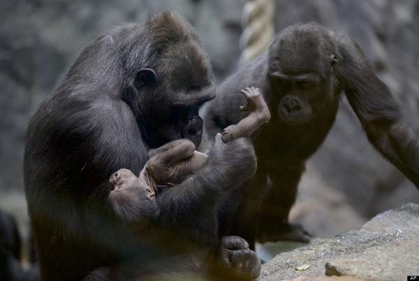 Russian Gorilla: (AP Photo/Ivan Sekretarev)