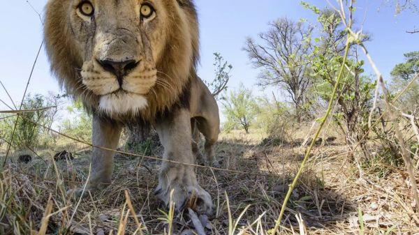 lions14