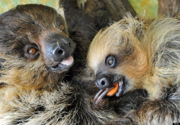 Eight months old baby sloths.  (Photo credit WALTRAUD GRUBITZSCH/AFP/Getty Images)