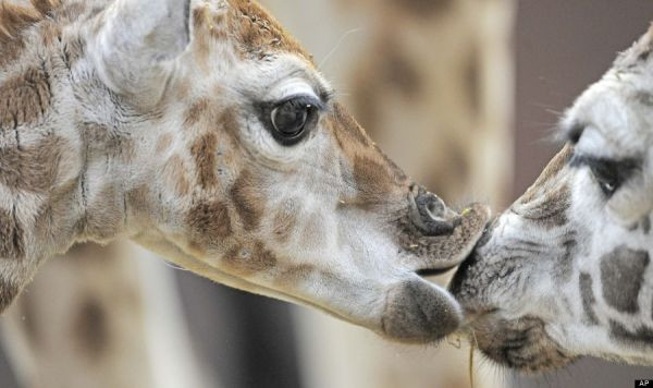 Germany Zoo Giraffe Baby. (AP Photo/Jens Meyer)