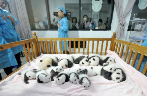 Fourteen Panda cubs lie on a bed for members of the public to view at Chengdu Research Base for Giant Panda Breeding on Sept. 23, 2013 in Chengdu, China.