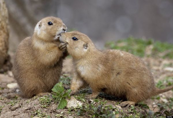 Two Black-Tailed Prairie Dog: Photo by: Universal Images Group via Getty Images