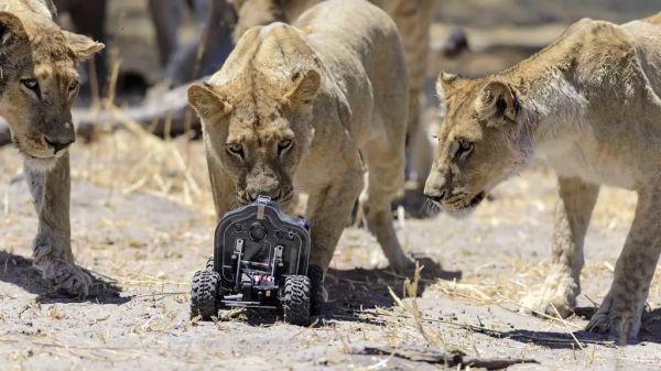 lions17