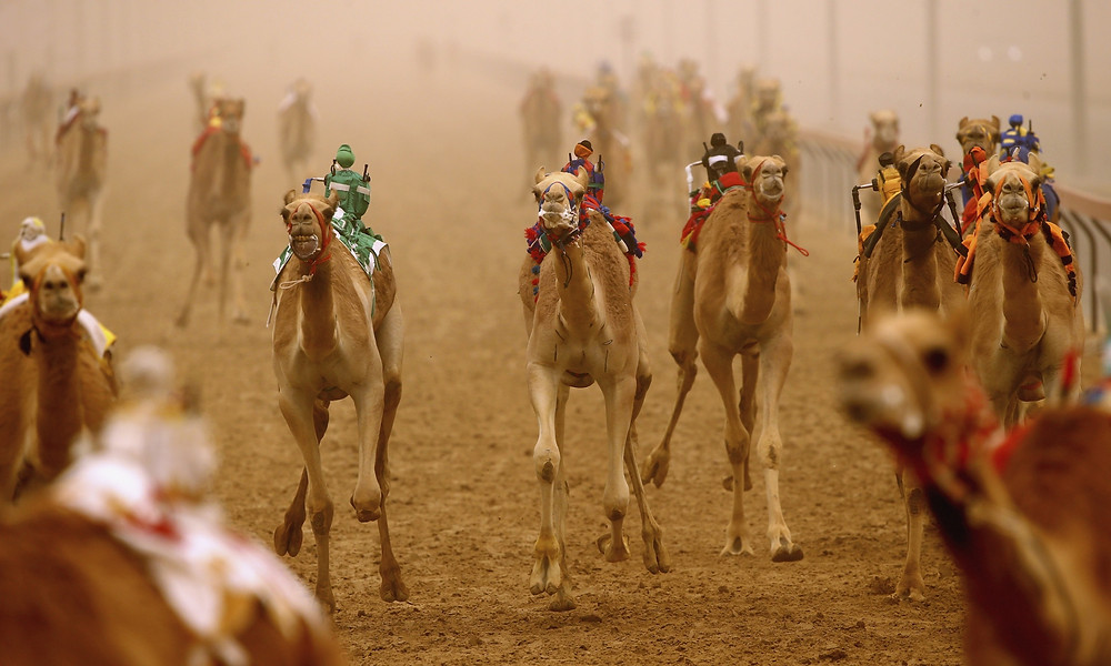 DUBAI, UNITED ARAB EMIRATES - APRIL 02: Robotic jockeys control camels during Al Marmoom Heritage Festival at the Al Marmoom Camel Racetrack on April 2, 2015 in Dubai, United Arab Emirates. The festival promotes the traditional sport of camel racing within the region.  (Photo by Francois Nel/Getty Images)