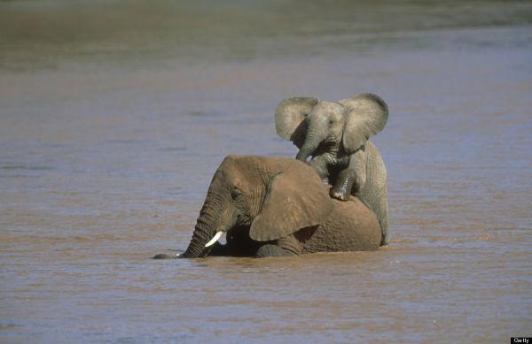 African Elephants Having Fun - Kenya