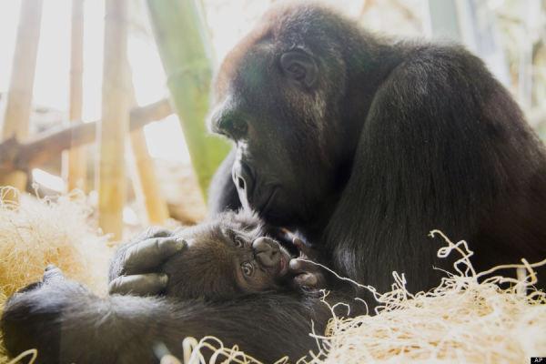 baby gorilla at Linkon Park Zoo (AP Photo/Courtesy the Lincoln Park Zoo, Todd Rosenberg)