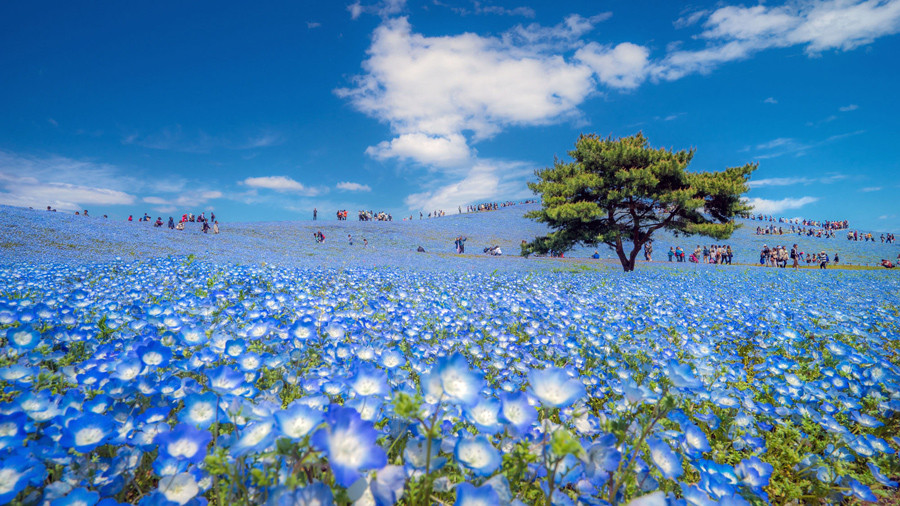 SSpring in Japan. People love to walk in this blue carpet flowers (Nemophila blue flowers) at Hitachi seaside park in Ibaraki.  © Danilo Dungo / National Geographic Travel Photographer of the Year Contest