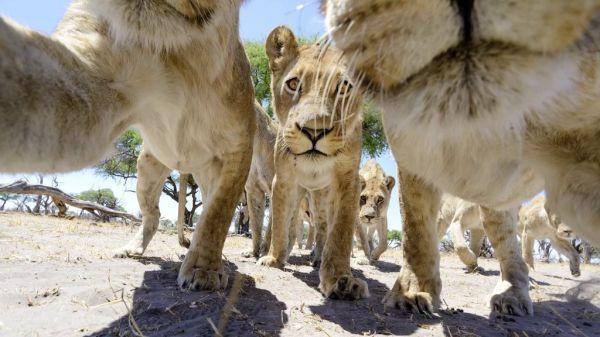lions11