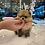 Thumbnail: Pomeranian -Pam