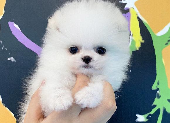 Pomeranian - Snow