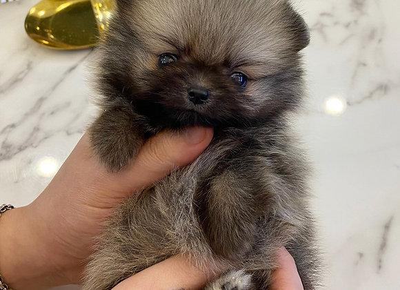 Pomeranian - Roxanne