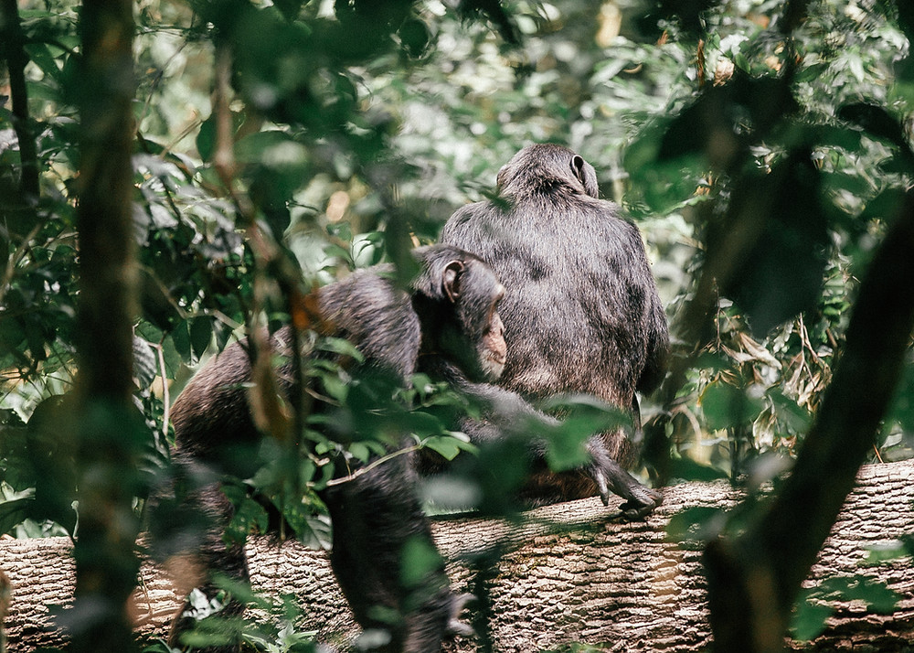 Chimpanzee Trek, Kibale Rainforest, Uganda