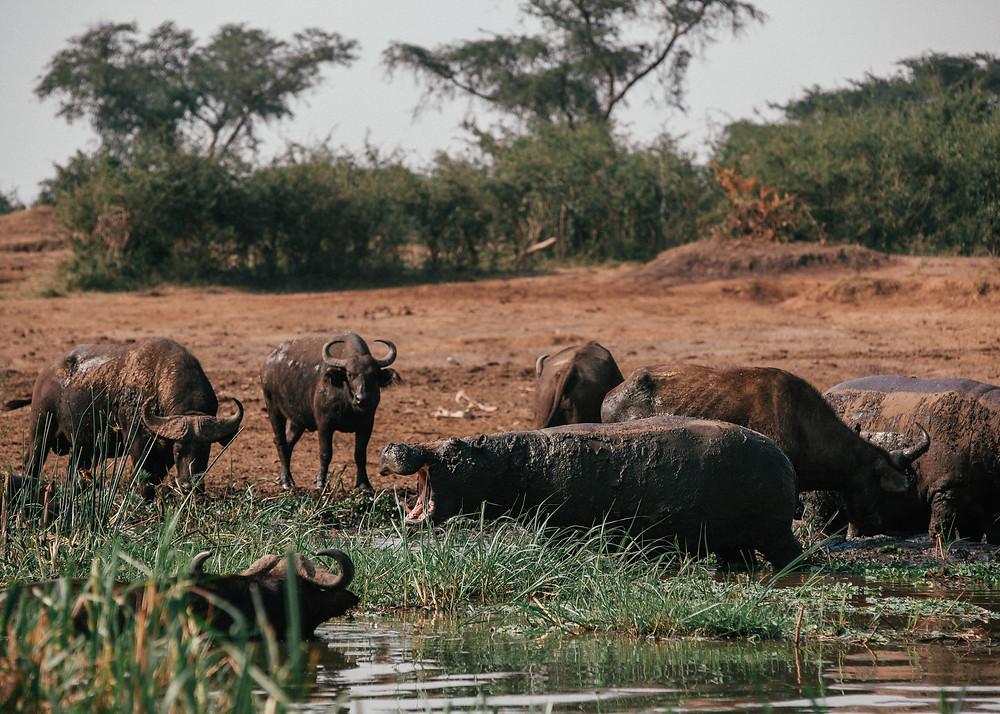 Hippo Safari, Queen Elizabeth National Park, Uganda
