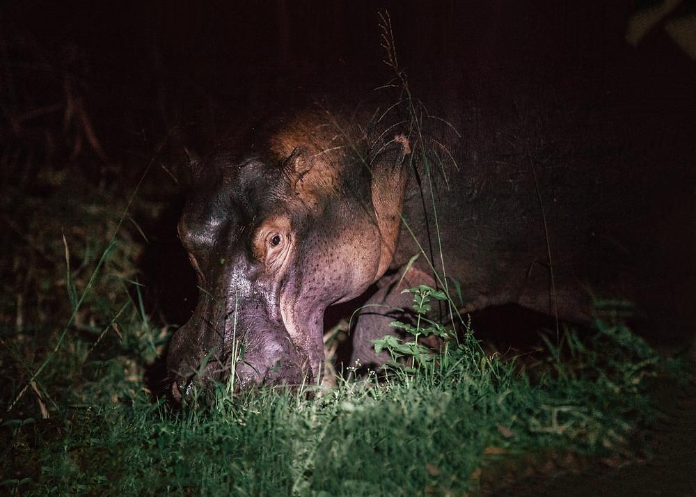 Hippo, Queen Elizabeth Bush Lodge, Uganda