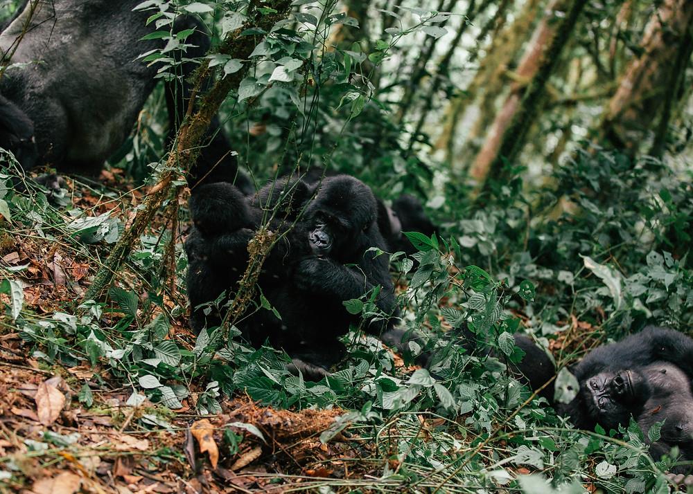 Habinyanja Gorillas, Bwindi Impenetrable Rainforest
