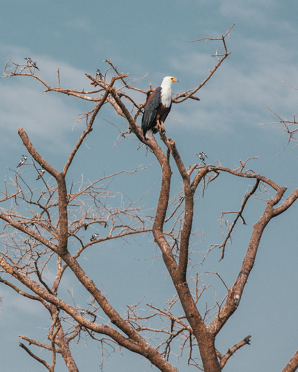 African FIsh Eagle, Uganda