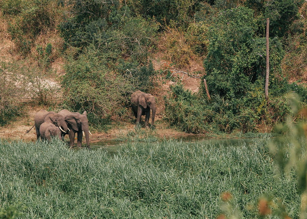 African Elephants, Queen Elizabeth Bush Lodge, Uganda
