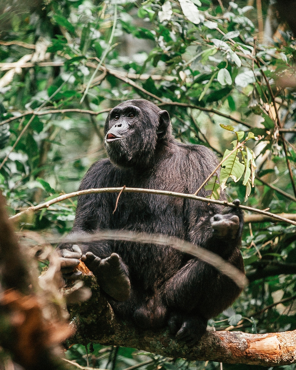 Chimpanzee Trekking, Kibale Rainforest, Uganda