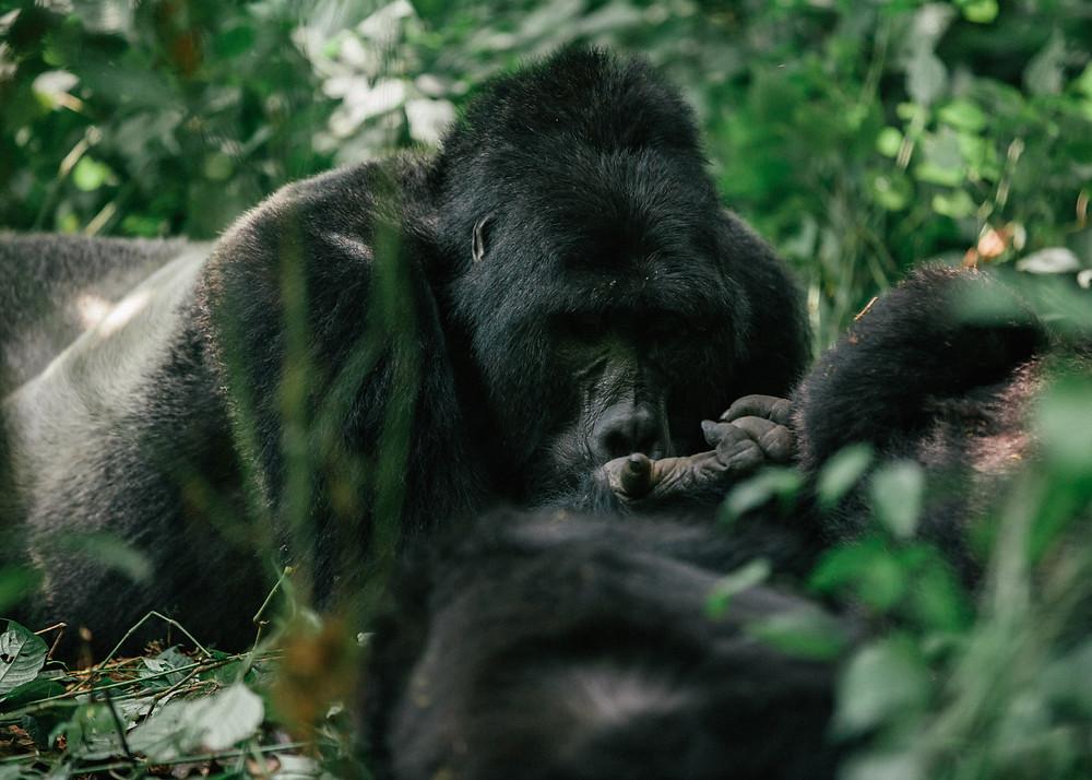 Habinyanja Silverback, Gorilla Trek, Bwindi Impenetrable Rainforest