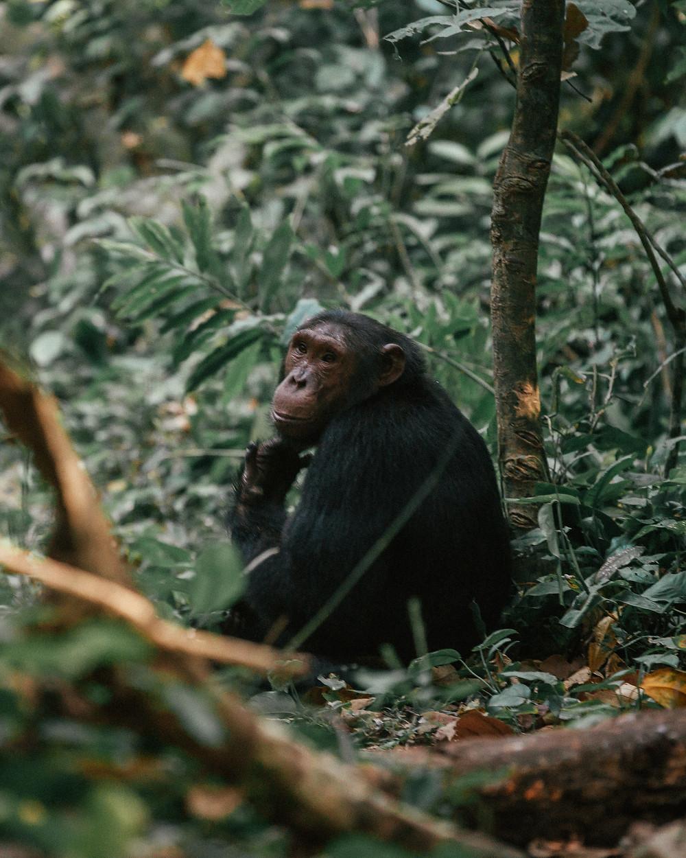 Chimpanzee Trek, Kyambura Gorge, Uganda