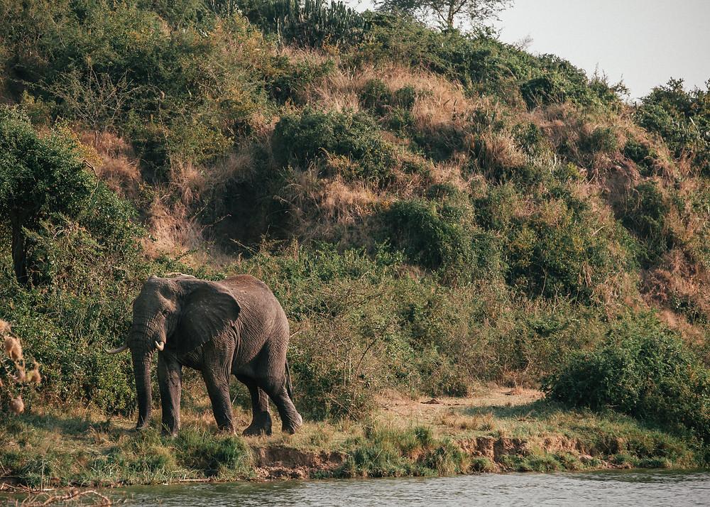African Elephant, Boat Safari, Queen Elizabeth National Park, Uganda