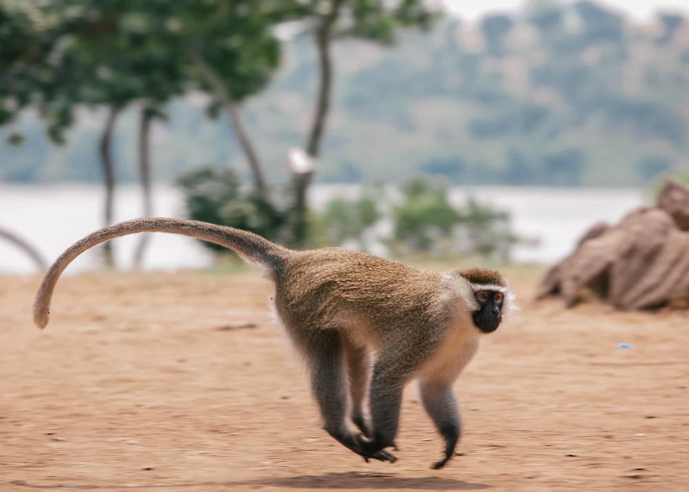 Vervet Monkey, Queen Elizabeth Bush Lodge, Uganda