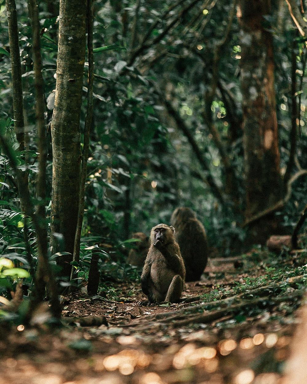 Baboons, Primate Lodge, Kibale Rainforest, Uganda