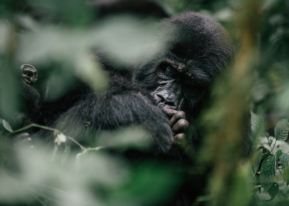 Gorilla Trek, Bwindi Impenetrable Rainforest