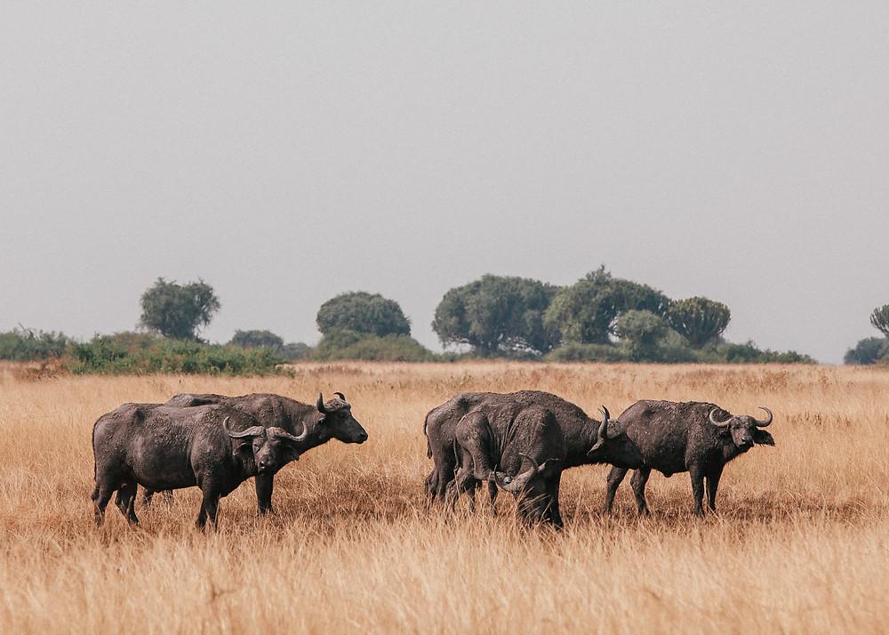 Buffalo, Safari, Queen Elizabeth Bush Lodge, Uganda