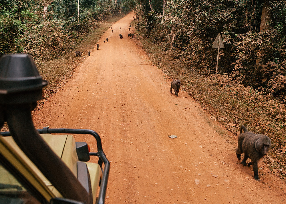 Baboons, Safari, Kibale Rainforest, Uganda