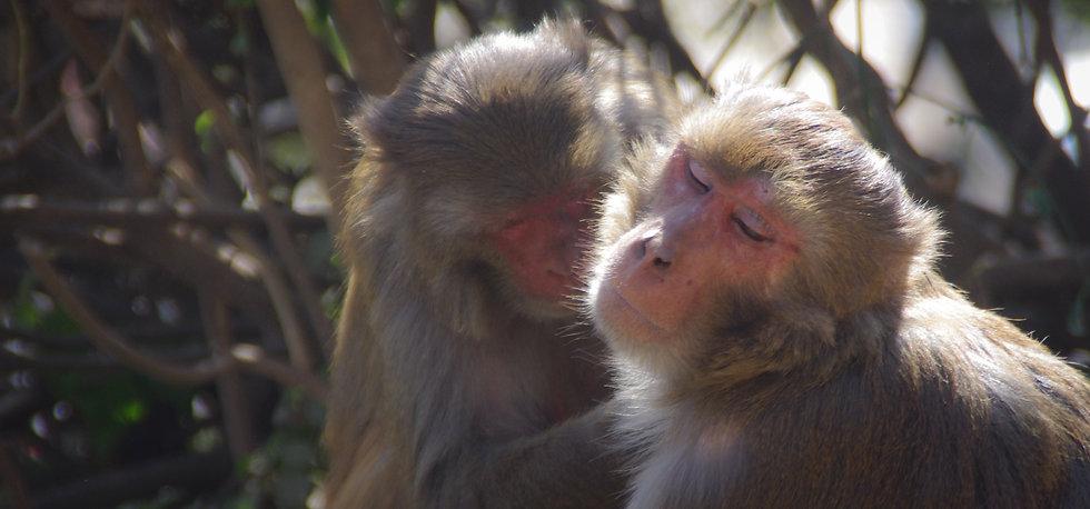 BCA Nepal Rhesus macaque photos (181).jp