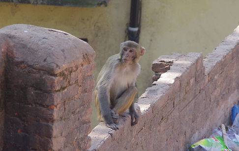 Rhesus macaque Swayambunath Nepal - B Al