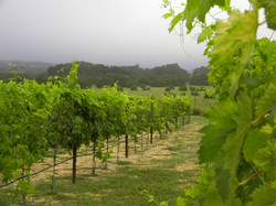 Vineyard trellising