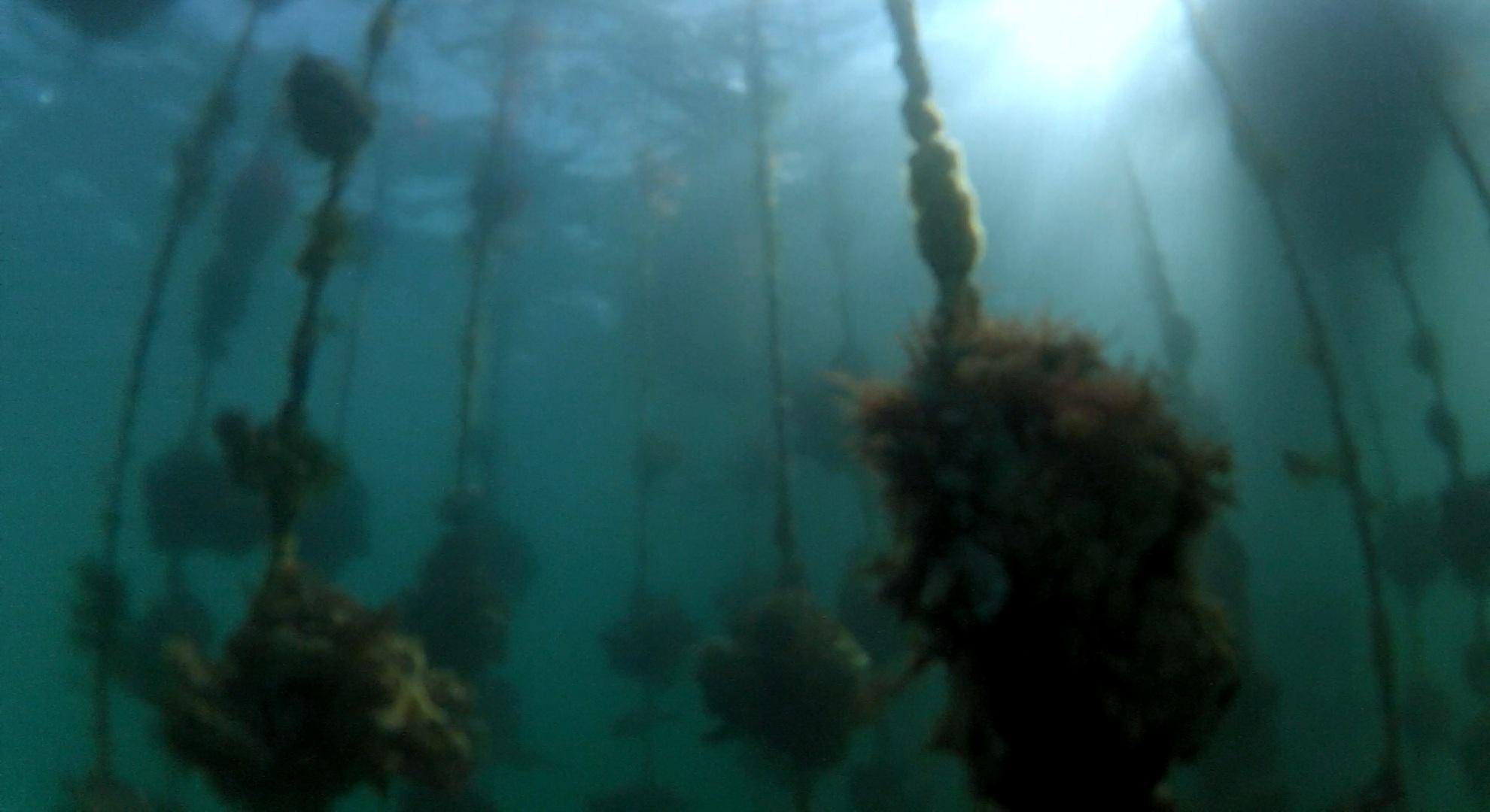 内海湾の牡蠣養殖