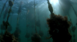 内海湾の海中で育つ生牡蠣