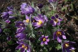 Prairie Crocus or Pasque Flower