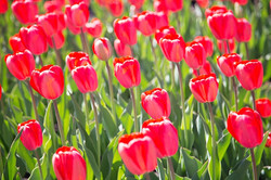 Red tulips from Canada 150 garden
