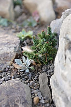 Alpine Crevice & Native Plant