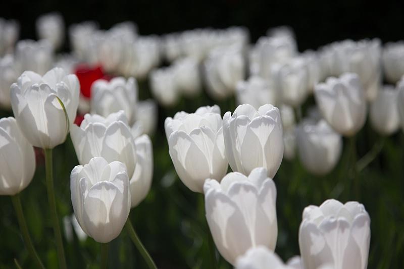 Tulips0006